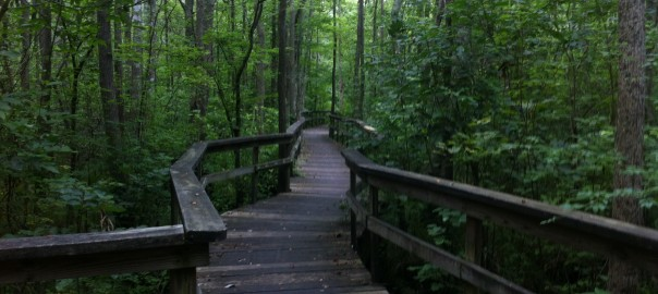 Pocomoke Forest Trail