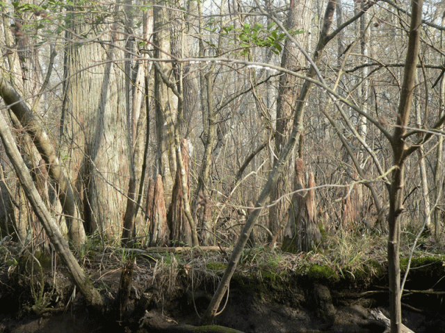 Cypress knees - Pocomoke Forest